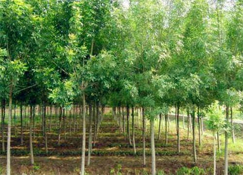 白蜡树价格多少钱一棵?2019种植前景怎么样?